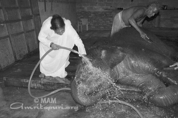 Amma giving bath to Ram the elephant