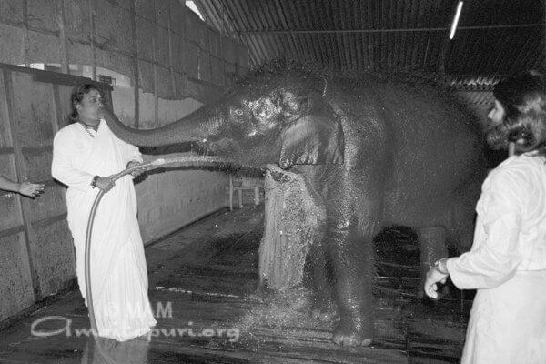 Amma giving a bath to Ram the elephant