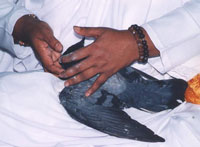 Amma taking care of an injured pigeon