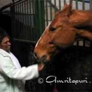 Amma feeding horse in Germany