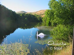 Swan in San Ramon, CA