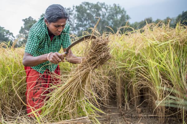 Organic farming of rice, harvest more than once