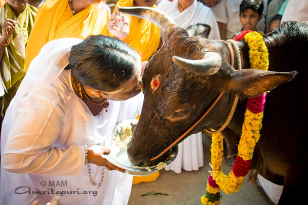 Pongal festival - it's meaning and significance - Amma, Mata